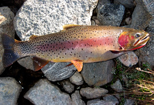 a-Slideshow-WY-cutthroat-trout