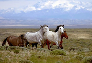 a-Slideshow-WY-bighorn-horses