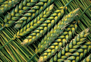 a-Slideshow-WY-wheat-green