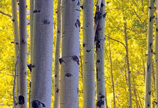 a-Slideshow-WY-yellow-aspens