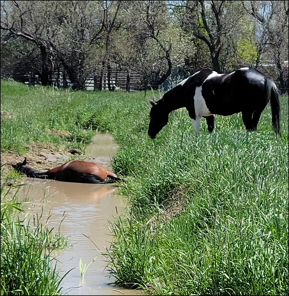 Wild Mustang in a Ditch